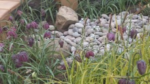 Snakes Head Fritillaria